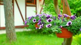 Фиолетовая петунья в цветочных горшках Стоковое фото RF