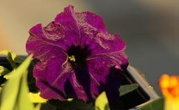 Фиолетовая петунья стоковые изображения rf