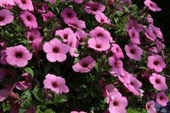 Фиолетовая петунья Стоковые Фотографии RF
