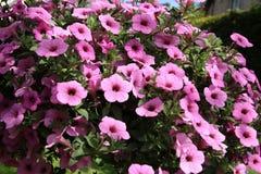 Фиолетовая петунья Стоковое Изображение
