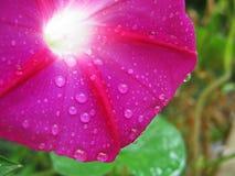 Фиолетовая повилика вьюнка с водой падает фото макроса Стоковое Фото