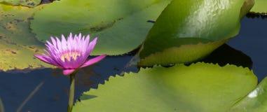 Фиолетовая предпосылка нерезкости лотоса Стоковая Фотография