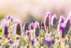 Фиолетовая предпосылка поля цветков Стоковая Фотография RF