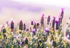 Фиолетовая предпосылка поля цветков Стоковое Фото