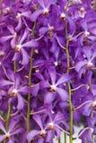 Фиолетовая предпосылка свежего цветка орхидеи Стоковые Фото