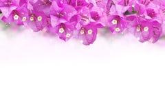 Фиолетовая рамка бумажного цветка бугинвилии цветка на белой предпосылке Стоковая Фотография RF