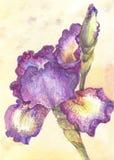 Фиолетовая радужка в акварели Один цветок на желтой предпосылке Стоковая Фотография