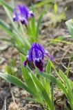 Фиолетовая радужка карлика Стоковые Фотографии RF