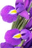 Фиолетовая радужка Стоковая Фотография