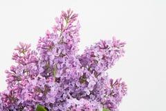 Фиолетовая свежесть Стоковые Изображения RF