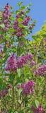 Фиолетовая сирень окаимленная в бело- ощущении Стоковые Фото