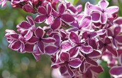 Фиолетовая сирень окаимленная в бело- ощущении Стоковая Фотография RF