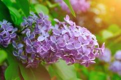 Фиолетовая сирень цветет весной цветение под мягким солнечным светом - предпосылкой природного источника флористической Стоковые Фото