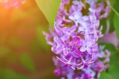 Фиолетовая сирень цветет весной цветение под мягким солнечным светом - предпосылкой природного источника флористической Стоковые Фотографии RF
