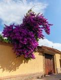 Фиолетовая смертная казнь через повешение бугинвилии от загородки стоковые изображения