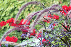 Фиолетовая трава фонтана стоковая фотография rf