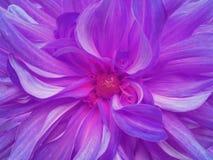 Фиолетовая фиолетовая хризантема closeup Макрос Природа Сад Стоковая Фотография
