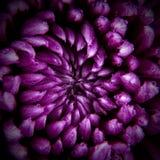 Фиолетовая хризантема в дождевых каплях Стоковые Фотографии RF