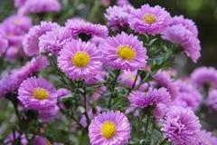 Фиолетовая хризантема Стоковые Изображения RF