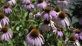 Фиолетовая эхинацея Purpurea Coneflower Стоковая Фотография RF