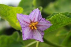 Фиолетовое бразильское дерево картошки Стоковые Фотографии RF
