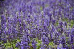 Фиолетовое зеленое поле лаванды Стоковое Изображение RF