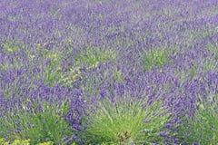 Фиолетовое и зеленое поле Стоковая Фотография RF