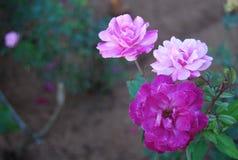 Фиолетовое малое подняло Стоковая Фотография
