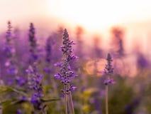 Фиолетовое поле лаванды Стоковое Изображение RF