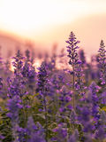 Фиолетовое поле лаванды Стоковое фото RF