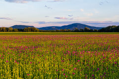 Фиолетовое поле мака Стоковое Изображение