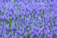 Фиолетовое поле botryoides muscari стоковые фотографии rf