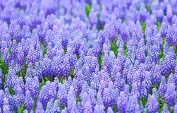 Фиолетовое поле botryoides muscari стоковые изображения rf