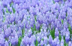 Фиолетовое поле botryoides muscari Стоковое Изображение