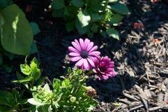 Фиолетовое самое интересное вытекая от теней Стоковая Фотография RF