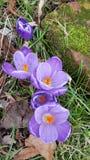 Фиолетовое трио крокуса Стоковые Фотографии RF