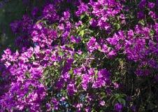 Фиолетовое фото цветка бугинвилии на предпосылке природы Стоковая Фотография RF