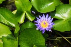 Фиолетовое цветене лилий с желтыми тычинками Стоковые Изображения