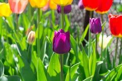 Фиолетовое цветене тюльпана стоковое изображение rf