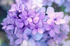 Фиолетовое цветение лета цветка гортензии Стоковые Изображения