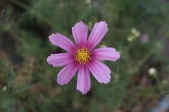 Фиолетовое цветение с цветнем стоковое изображение