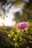 Фиолетовое цветение цветка на заходе солнца стоковые фотографии rf