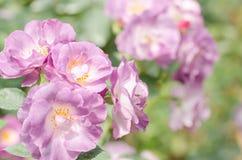 Фиолетовое цветение цветка роз Стоковые Фотографии RF