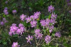 Фиолетовое цветки/ФиР‹'Ñ ² ÐΜÑ † Ре Ñ ‹² Ñ ¾ Ð 'Ð ÐΜÑ ¾ л Стоковые Изображения