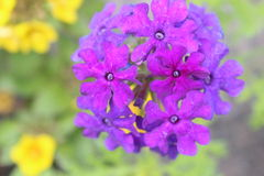 Фиолетовое цветорасположение Стоковая Фотография