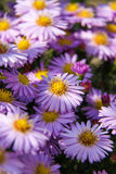 Фиолетовое astra осени. Стоковые Фото