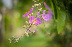 Фиолетовое calyculata Kurz Lagerstroemia Стоковые Фото