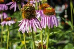 Фиолетовое Coneflowers Стоковое Изображение