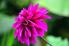 Фиолетовое daliha Стоковые Фото