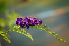Фиолетовое Duranta Erecta цветет на дереве Duranta Erecta Стоковое Изображение RF
